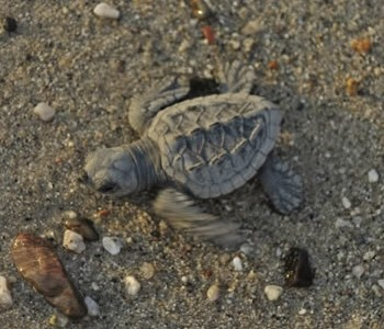 Baby Turtles in Bucerias, Nayarit...